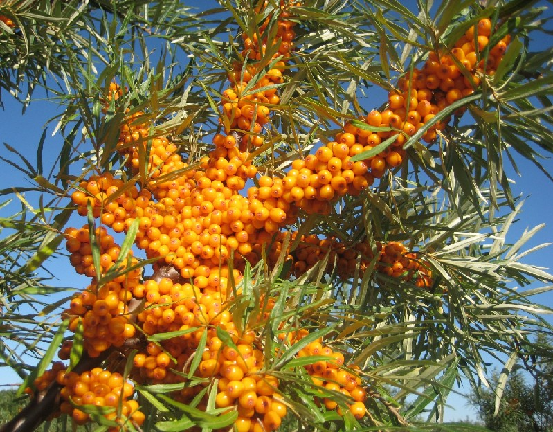Research into fruit and nut growing in ireland and other northern climates research in sea - Growing sea buckthorn ...